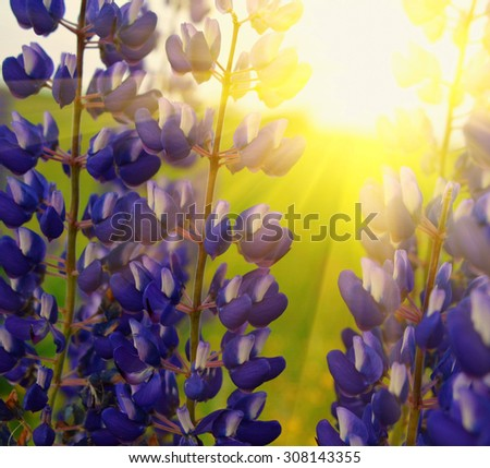 Lavender flowers Blue lupines in meadow under sky - stock photo