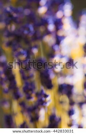 lavender flowers blurred scene. - stock photo
