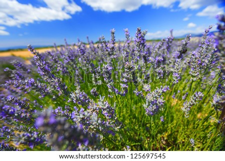 Lavender flowers close up - stock photo