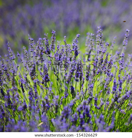 Lavender flowers close up - stock photo