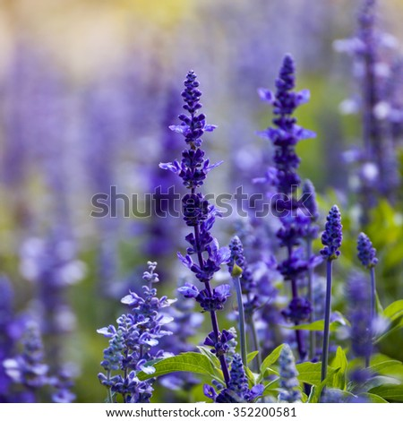 lavender flowers, close-up, selective focus - stock photo
