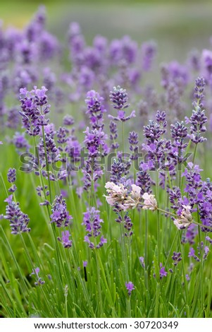 Lavender flowers growing in the garden