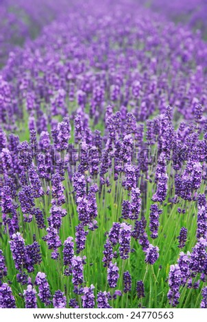 Lavender flowers in a field - stock photo