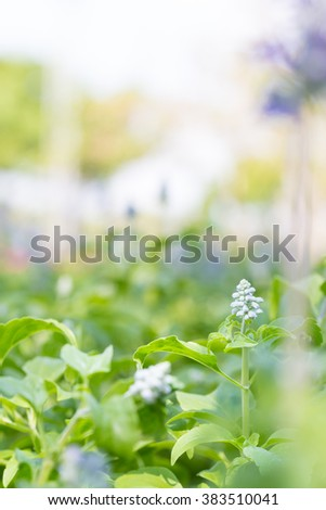 Lavender flowers in a field. The colorful and fragrant perfume extract taken. - stock photo