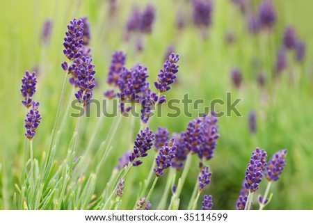 Lavender Flowers in Bloom - stock photo