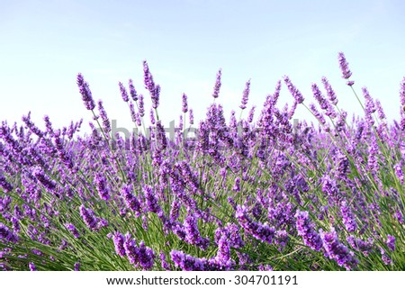 Lavender flowers - ingredient for cosmetic and aroma - stock photo