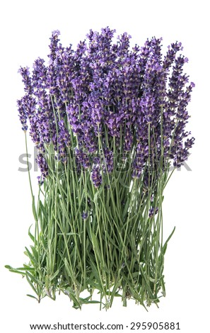 Lavender flowers isolated on white background. Bunch of fresh blossoms - stock photo