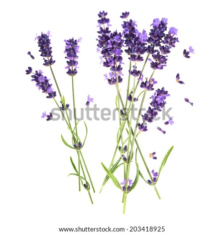 lavender flowers isolated on white background. fresh blossoms - stock photo