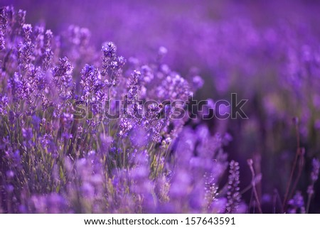 Lavender Flowers on lavander field at France. Aromatherapy.