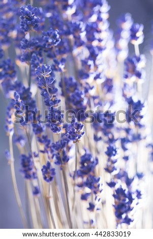 lavender flowers on the black background . - stock photo