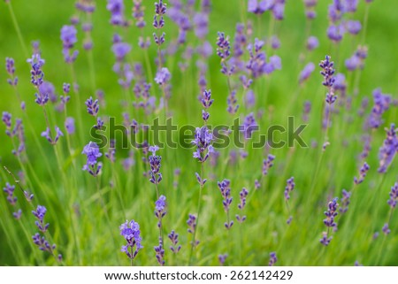 lavender flowers on the green grass closeup - stock photo
