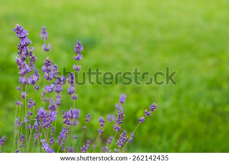 lavender flowers on the green grass with text space - stock photo
