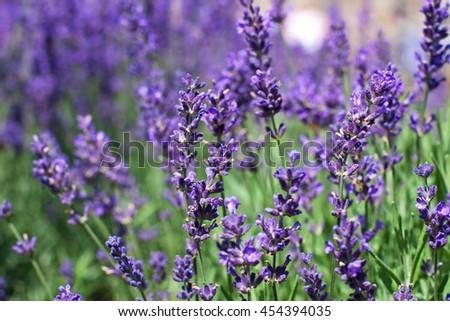 Lavender flowers. Selective focus - stock photo