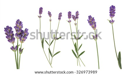 Lavender flowers set  isolated on white, top view