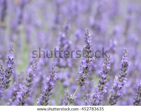 lavender from nagano, Japan - stock photo