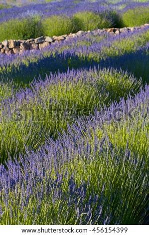 lavender garden with stone wall, focus is on the foreground - stock photo