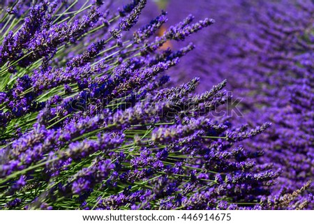 Lavender growing flowers close up in summer field, France - stock photo