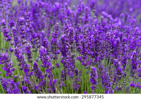 Lavender  growing  in a field at peak bloom in Sequim, Washington, US. Sequim is the lavender Capital of North America. Lavender is a beautiful aroma flower in herbal medicine. Agricultural landscape.