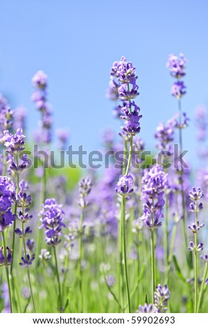 Lavender herb blooming in a garden with blue sky - stock photo