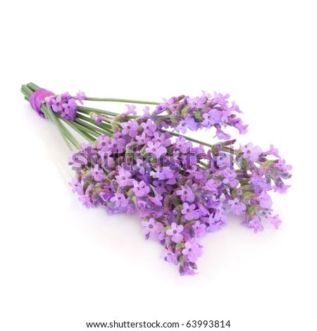 Lavender herb flower posy isolated over white background. Lavandula angustifolia munstead. - stock photo