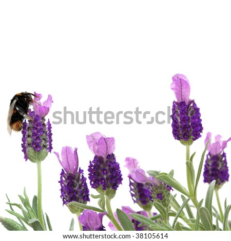 Lavender herb flowers with a bumble bee gathering pollen, over white background.
