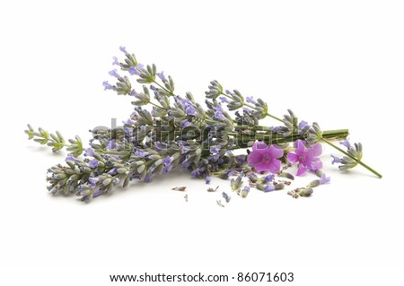 lavender herb of the field reflected on white background - stock photo