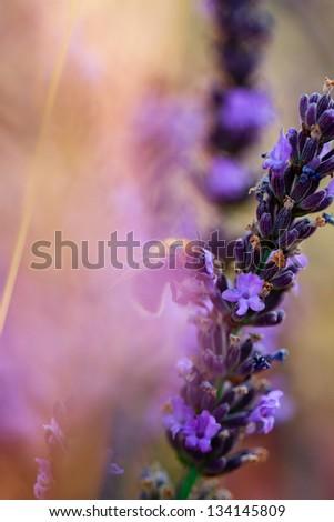 Lavender herbs in the garden - stock photo