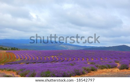 lavender in a field ready for harvest - stock photo