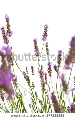 Lavender in bloom in front of a white background - stock photo