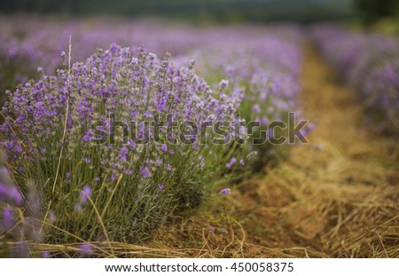 Lavender in Bulgaria - stock photo