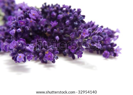 Lavender in closeup isolated on white background