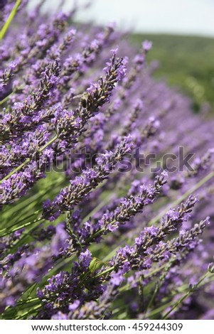 Lavender in full bloom in close-up