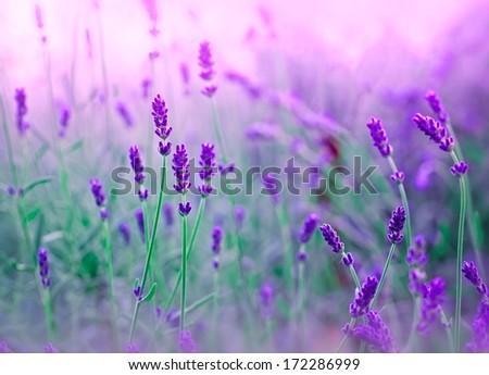 Lavender in garden - stock photo