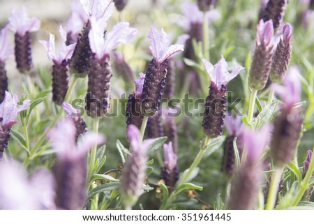 Lavender in natural way, in the background. - stock photo