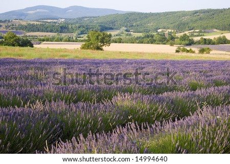 lavender in Sault, Vaucluse, Provence, France