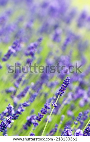Lavender in summer  (the background) - stock photo