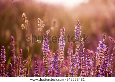 Lavender in sunset - stock photo