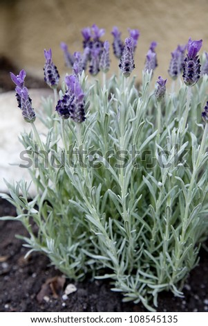 Lavender in the garden - stock photo
