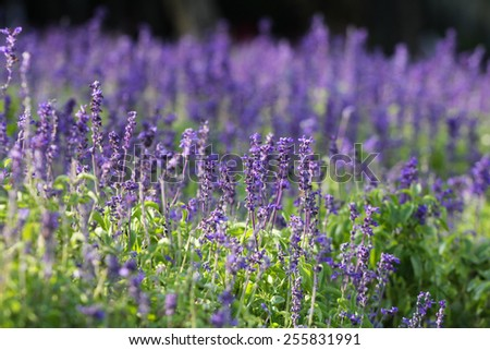 Lavender in the morning  - stock photo