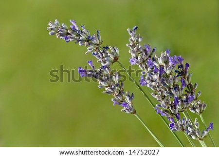 lavender in the nature