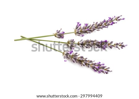 lavender isolated - stock photo