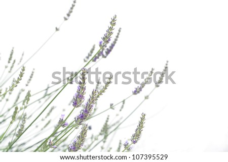 Lavender isolated on white - stock photo