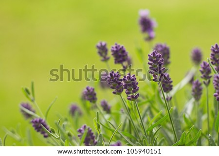 lavandula angustifolia stock images royalty free images vectors shutterstock. Black Bedroom Furniture Sets. Home Design Ideas