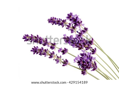 Lavender. Lavender - Bunch of lavender flowers on a white background. Lavender herbs. Lavender  flowers.  Lavender on white. Lavender herb.   - stock photo