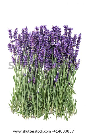 Lavender. Lavender flowers isolated on white background. Bunch of fresh lavender blossoms. Bouquet lavender. Natural lavender. Lavender bunch. Lavender flowers - stock photo