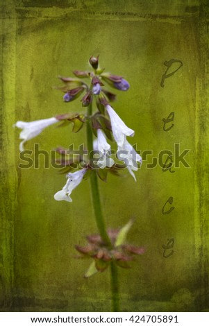 Lavender Lyreleaf Sage Wildflowers with Words Peace / Lavender Lyreleaf Sage Wildflowers with Words Peace / Lavender Lyreleaf Sage Wildflowers with Words Peace /  - stock photo