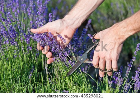 Lavender. Male hands cuts scissors lavender flowers. Hand touching lavender, feeling nature - stock photo