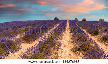 Lavender meadows in Provence. Panoramic view at summer sunset. - stock photo