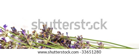 Lavender on a white background - stock photo