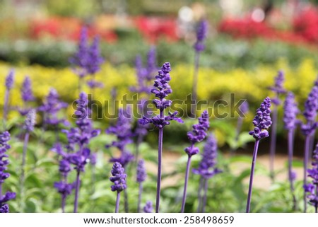 Lavender on the field with green grass - stock photo
